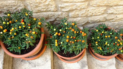 pots with ornamental nightshade on the stairs