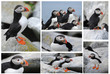 Puffins on Machias Island Collage