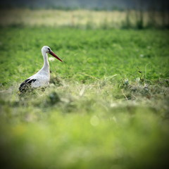 white stork in green field