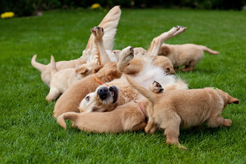 Golden retriever puppies with mother
