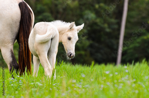 White horse foal in a green grass.