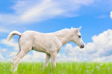 White horse foal in grass on sky background.