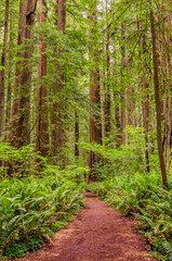 A Path Through a Redwood Forest