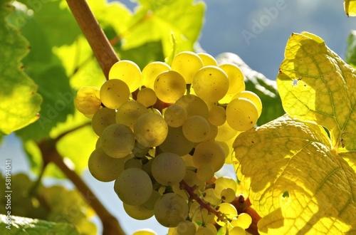 Tuinposter Wijngaard Weintraube weiss - grape white 20