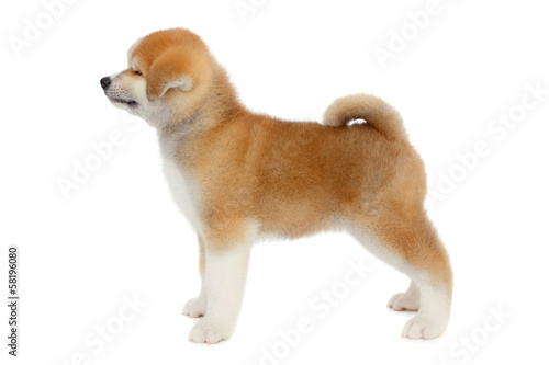Pat dog, young Akita Inu puppy dog at white background