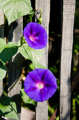 morning glory flower.