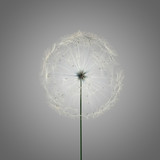 dandelion - 58199031