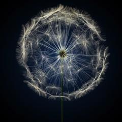 dandelion © aleciccotelli