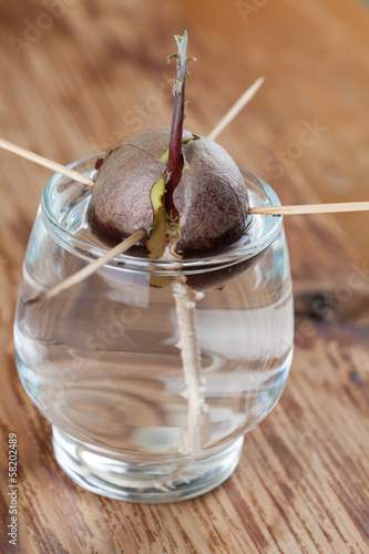 Germinating avocado - part 3