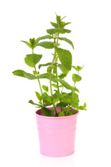 Fresh mint plant in pink pot