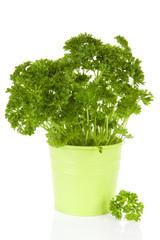 Fresh parsley plant in green pot
