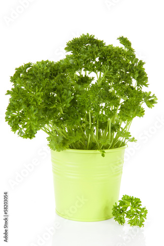 Fresh parsley plant in green pot