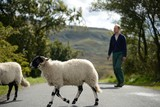 Sheep and farmer crossing the road in Lake District