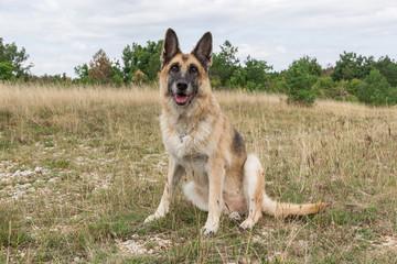 German Shepherd Dog adult in a meadow