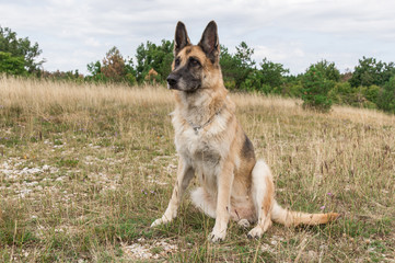German Shepherd Dog adult in a meadow