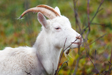 One goat in Autumn forest