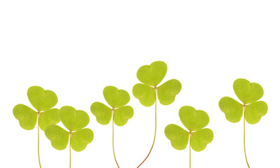 Leaves of Common wood sorrel isolated on white
