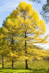 Autumn landscape with larches