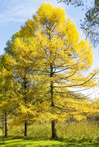 Autumn landscape with larches