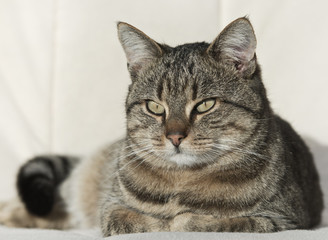 Lovely tabby cat resting on white couch