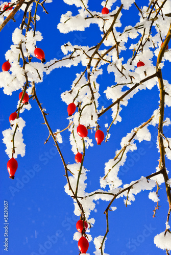 Branches rosehip covered with hoarfrost on blue sky background.