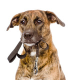 mixed breed dog with a leash in his mouth. isolated on white