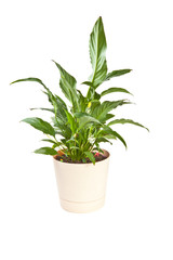 Anthurium houseplant in a pot on a white background