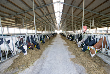 Interior of modern Holstein Friesian cow stable