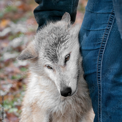 Blonde Wolf (Canis lupus) Receives Scratches from Handler