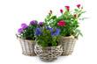 garden plant in reed basket