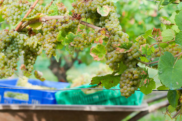 newly harvested grapes in boxes, in the vineyards