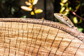 Lizard's head