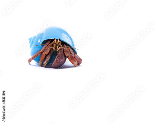 Little Hermit Crab in Blue Shell
