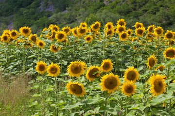 beautiful sunflowers in the mountains