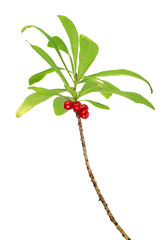 isolated branch with red daphne berries