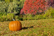Pumpking and red bush on grass