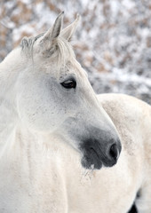 Lusitano horse pictured during a winter snowfall
