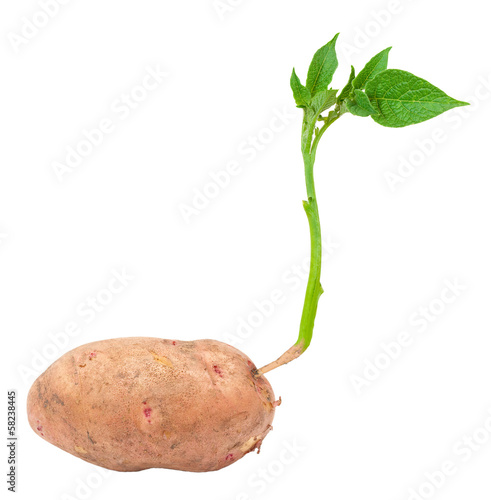 Young potato sprout