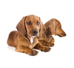 Two cute Dachshund Puppies / Isolated