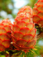 macro photography of larch cones