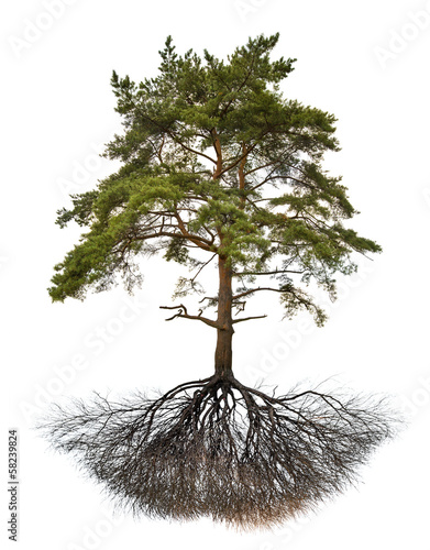 old large pine with root on white