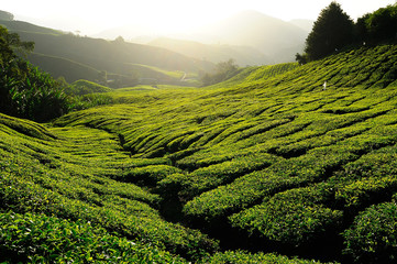 Tea Plantation on the Hill at Cameron Highlands, Malaysia