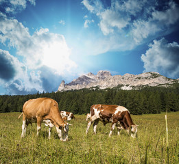Grazing cows on Dolomites Mountains near Cortina d'Ampezzo