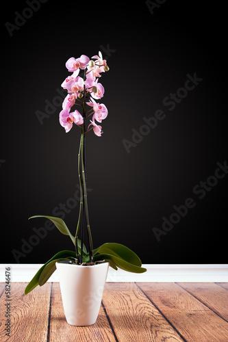 Orchidee im Topf vor schwarzer Wand