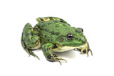 striped light green moor frog on a white background