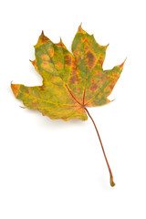 Autumn - Maple Leafs - Isolated on White