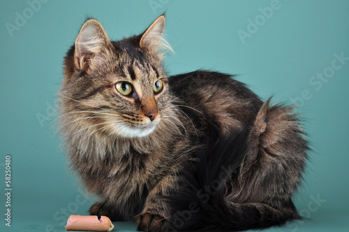 adult cat eats a franfurter sausage