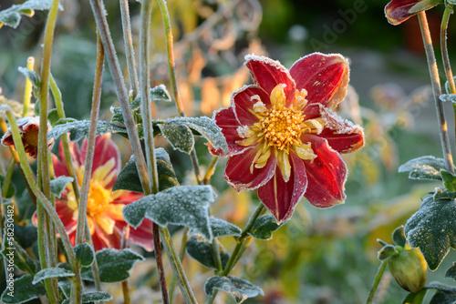 Foto op Canvas Dahlia Blumen 283