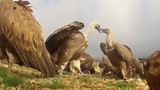 Griffon vultures fighting over food