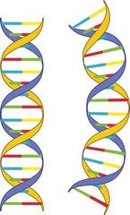 DNA-Doppelhelix  - Modell